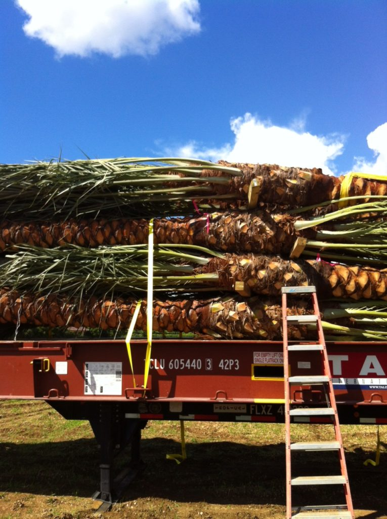 'Medjool' palms prepped to ship to Nassau, Bahamas